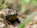 Crapaud sonneur à ventre jaune © Anne-Cécile Monnier
