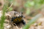 Crapaud sonneur à ventre jaune - Mare forestière - Marne © Anne-Cécile Monnier