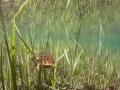 Crapaud commun - Etang forestier - Meuse