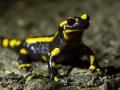 Salamandre tachetée - Mayenne © Anne-Cécile Monnier