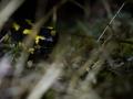 Salamandre tachetée - Vallée de la Meurthe © Anne-Cécile Monnier
