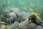 Crapaud commun plongeant dans les pontes de grenouille © Anne-Cécile Monnier