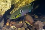 Crenicichla saxatilis femelle - Guyane