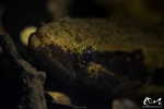Hoplias malabrichus - Guyane