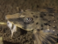 Rineloricaria platyura - Guyane