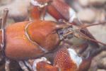 Ecrevisse du Pacifique/de Californie, l'Ornain (55) © Anne-Cécile Monnier