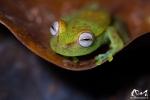 Rainette ponctuée (Hypsiboas punctatus) - Guyane
