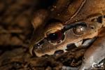 Leptodactyle sp (Leptodactylus sp) - Guyane