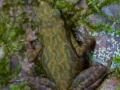 Atélope de Guyane (Atelopus flavescens)