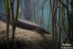 Anguille européenne © Anne-Cécile Monnier